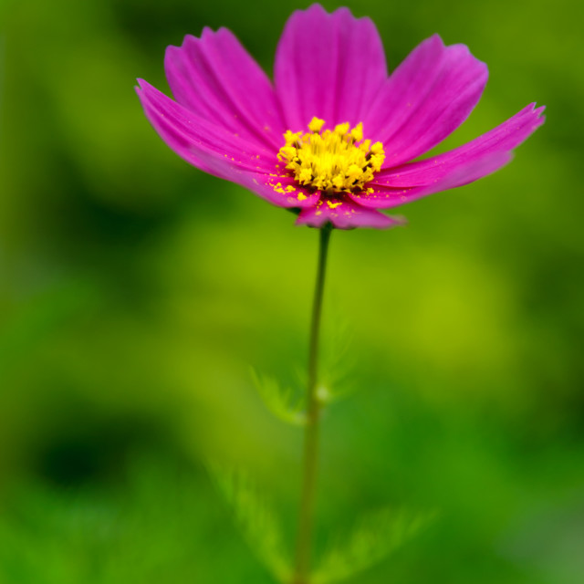 """Lonely Daisy"" stock image"