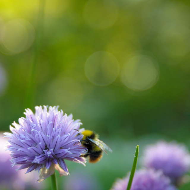 """""""Blooming chives with bumblebee"""" stock image"""