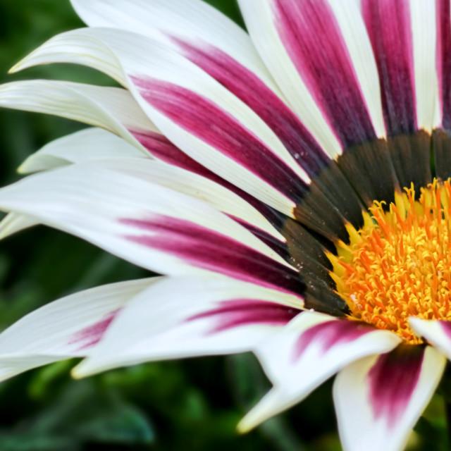 """Treasure flower."" stock image"