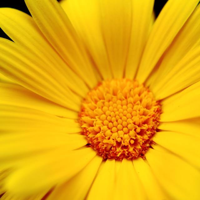 """""""sun flower"""" stock image"""