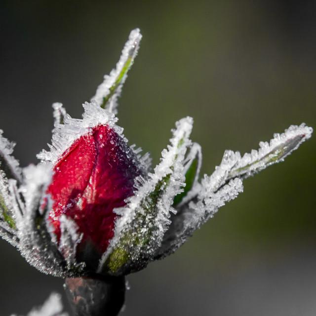 """Frozen rose"" stock image"