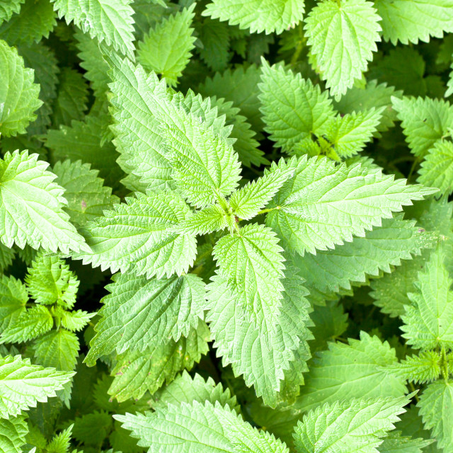 """Stinging nettles"" stock image"