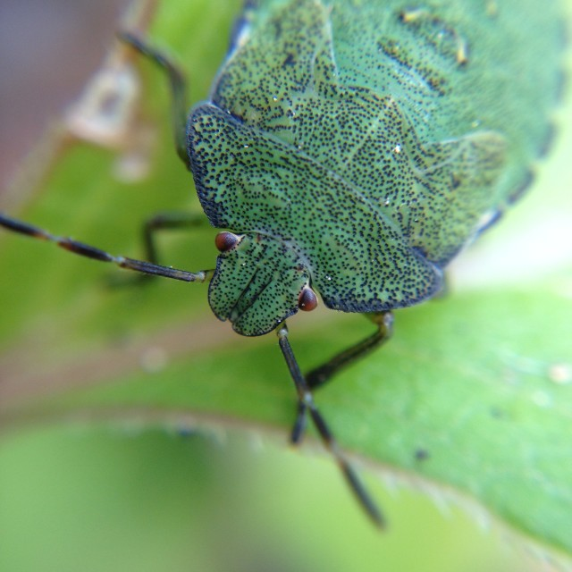 """Close up of a shield bug"" stock image"