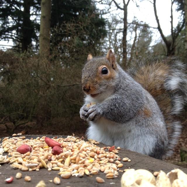 """Squirrel gathering peanuts"" stock image"