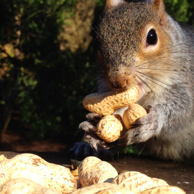 """Squirrel gathering peanuts"" stock image"