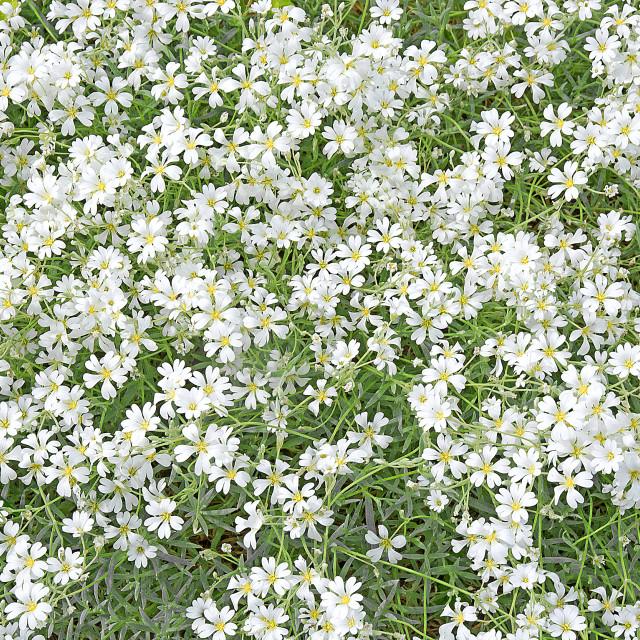 """White lobelia flowers"" stock image"