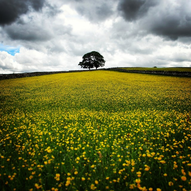 """""""Buttercups Stormy Day"""" stock image"""