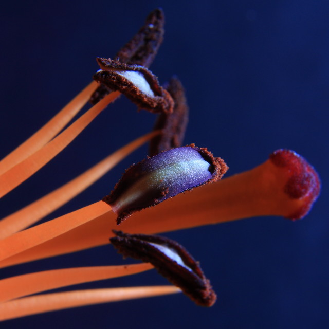"""Orange pistil"" stock image"
