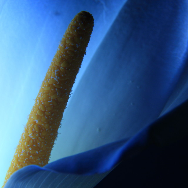 """Calla flower"" stock image"