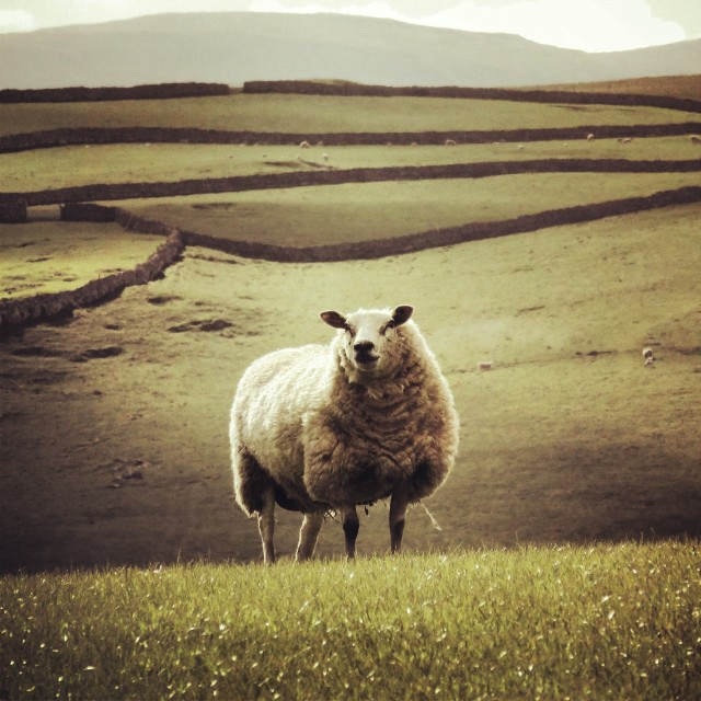"""Lone Sheep"" stock image"