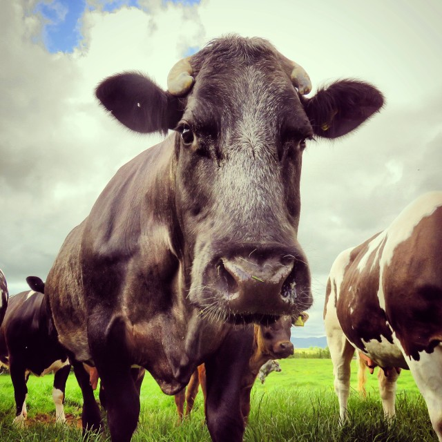 """Nosy Cow"" stock image"