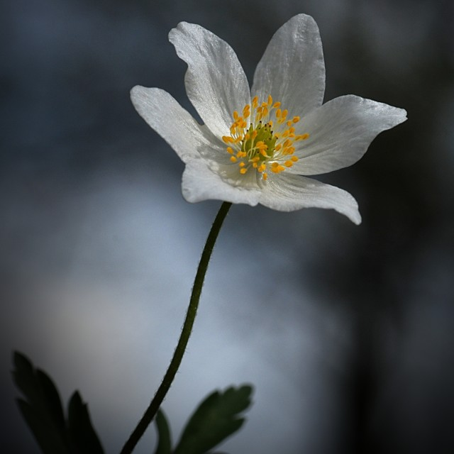 """The Anemone Flower 2"" stock image"