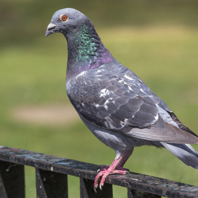 """Rock Dove"" stock image"
