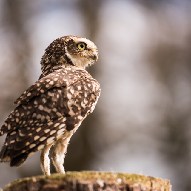 """Little Owl"" stock image"