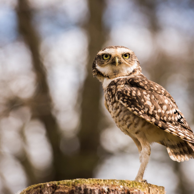 """Little Owl ""Focused"""" stock image"