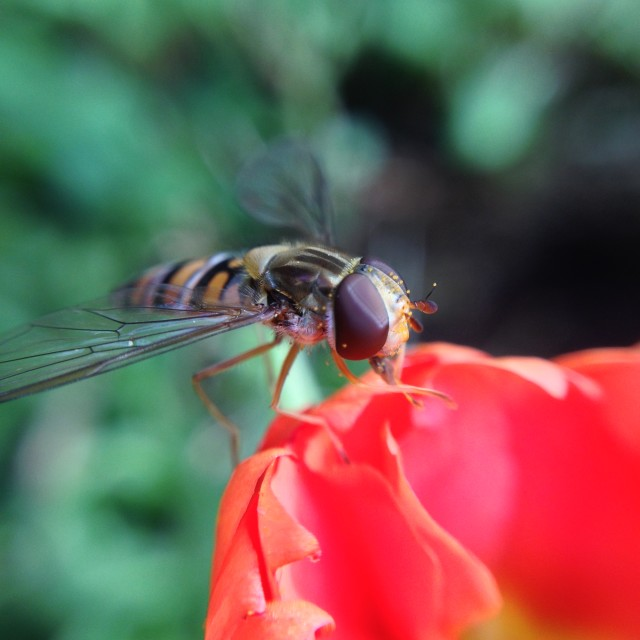 """Close up of a hover fly"" stock image"