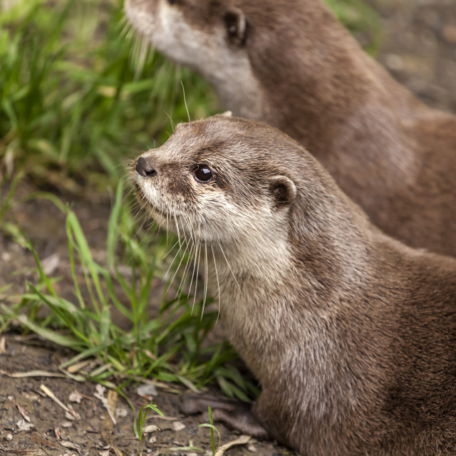 """""""Clawless Otter's"""" stock image"""