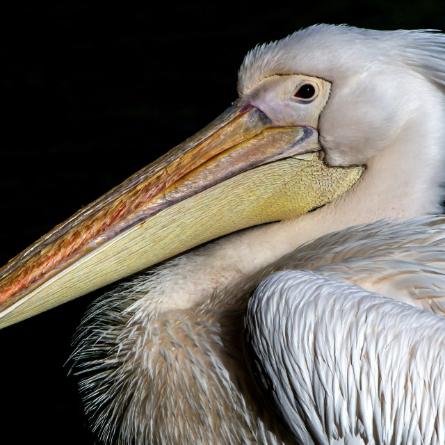 """Pelican Bird"" stock image"
