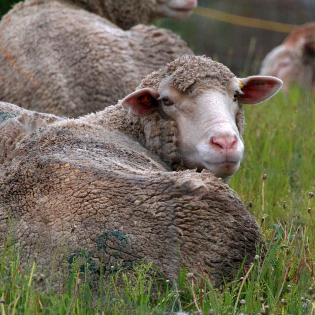 """Feeling Sheepish?"" stock image"
