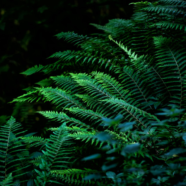 """Ferns in Thornton Glen"" stock image"