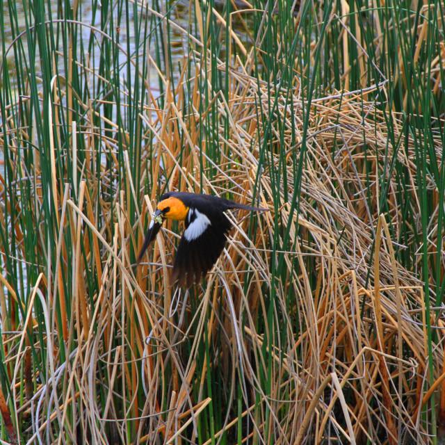 """Yellow headed black bird take off"" stock image"