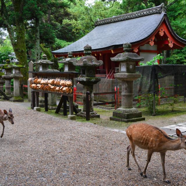 """Deer walking through Nara Deer Park"" stock image"