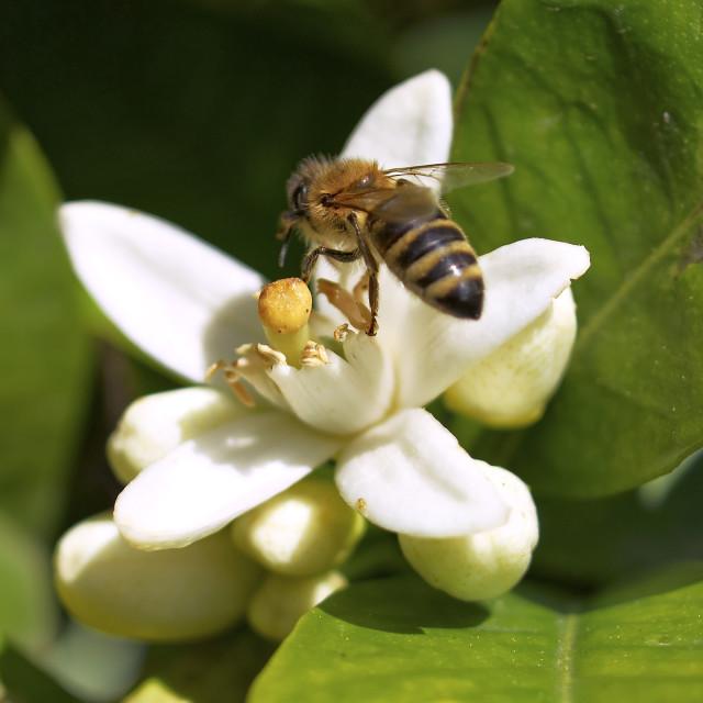"""""""honey bee on white flower"""" stock image"""
