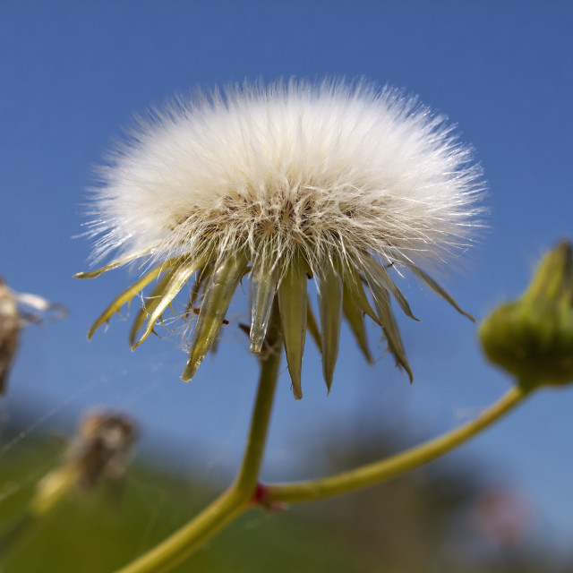 """Dandellion clock flower seeds close-up"" stock image"