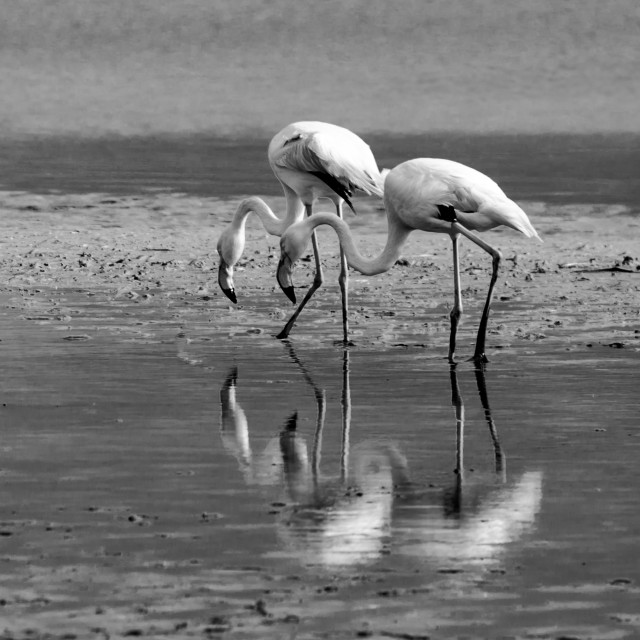 """flamingo b&w"" stock image"