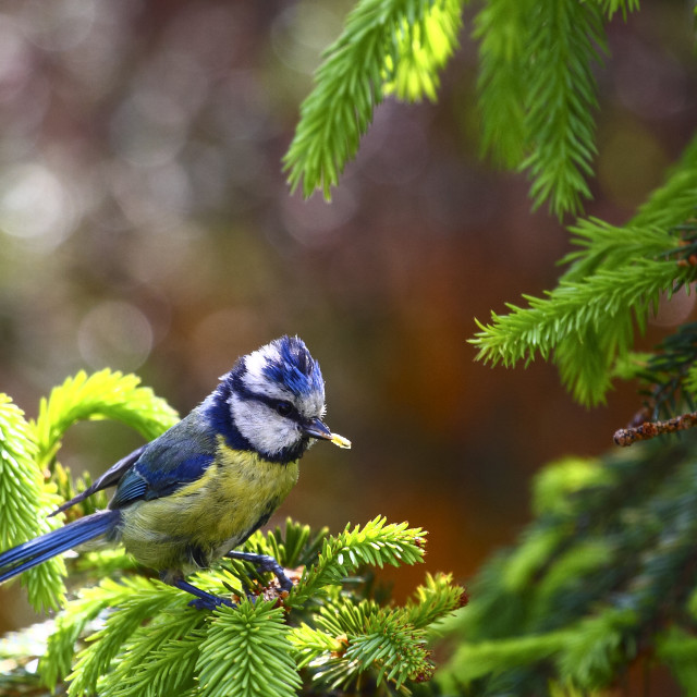 """Blue Tit on a fir tree"" stock image"