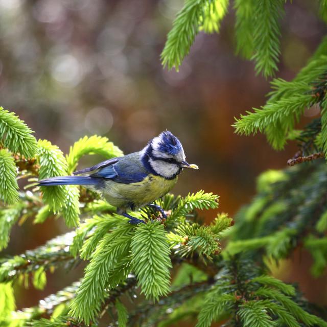 """Blue Tit on a fir tree"" stock image"