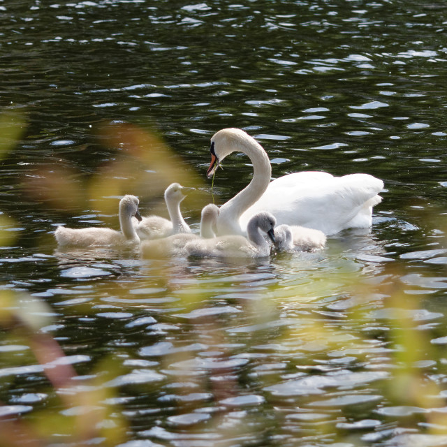 """Swan and cygnets"" stock image"