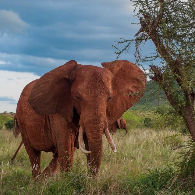 """""""Elephats in Kenya"""" stock image"""