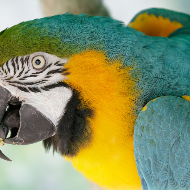 """Blue and Gold Macaw"" stock image"