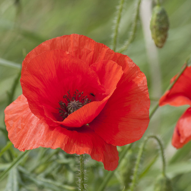 """""""Red Poppies, United Kingdom"""" stock image"""