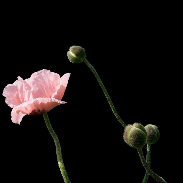 """Pale salmon pink poppies"" stock image"