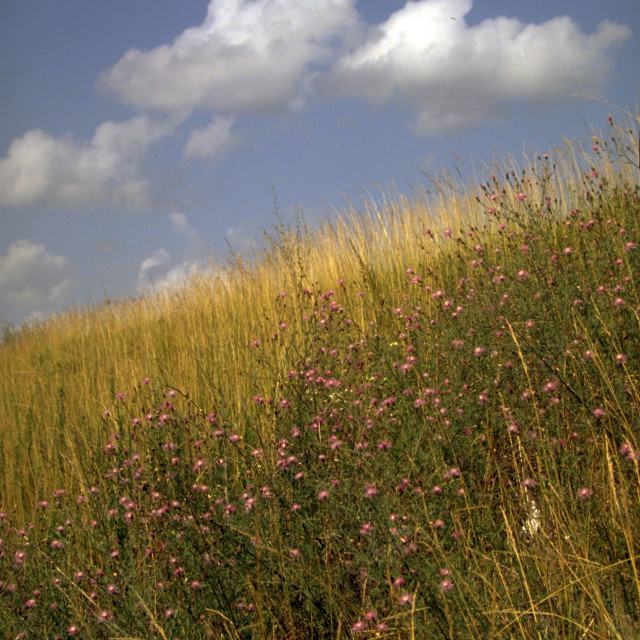 """Ozarks Native Grass Hillside (vertical)"" stock image"
