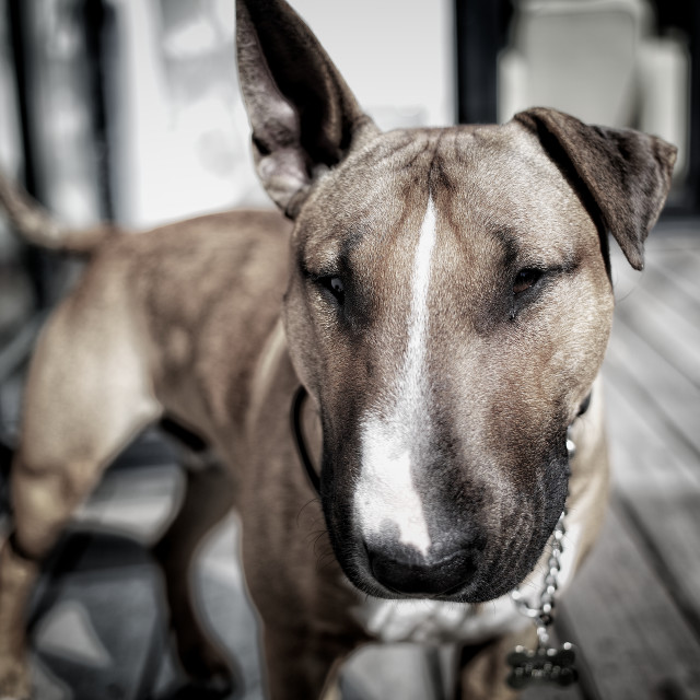 """English Bull Terrier"" stock image"