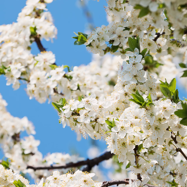 """Flowering Cherry Blossoms"" stock image"