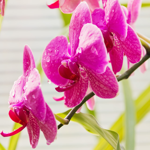 """""""Branch Of Orchid"""" stock image"""