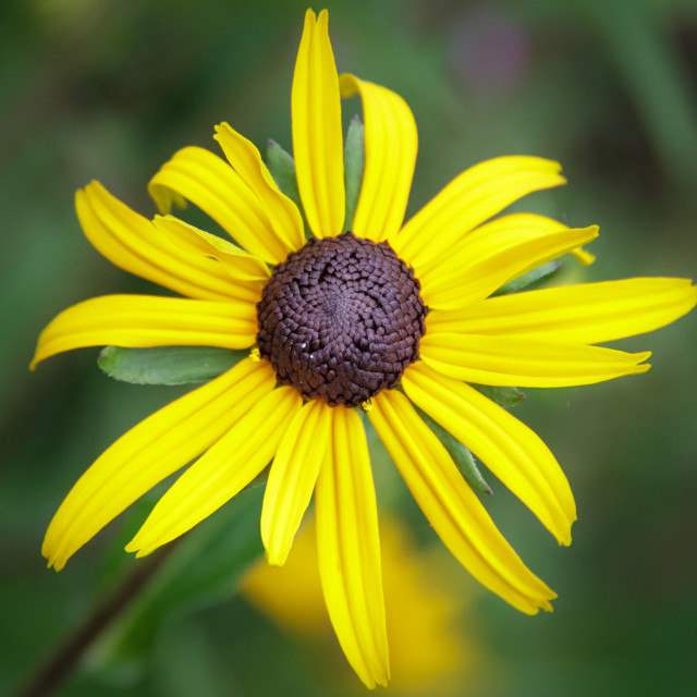"""Black-eyed Susan"" stock image"
