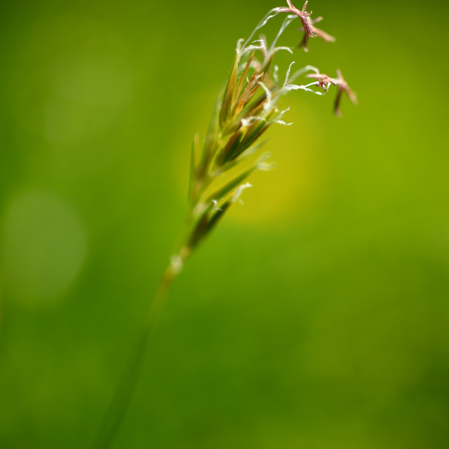 """Grass seed head"" stock image"