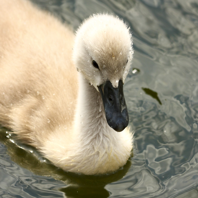 """Cygnet swimming on a lake"" stock image"