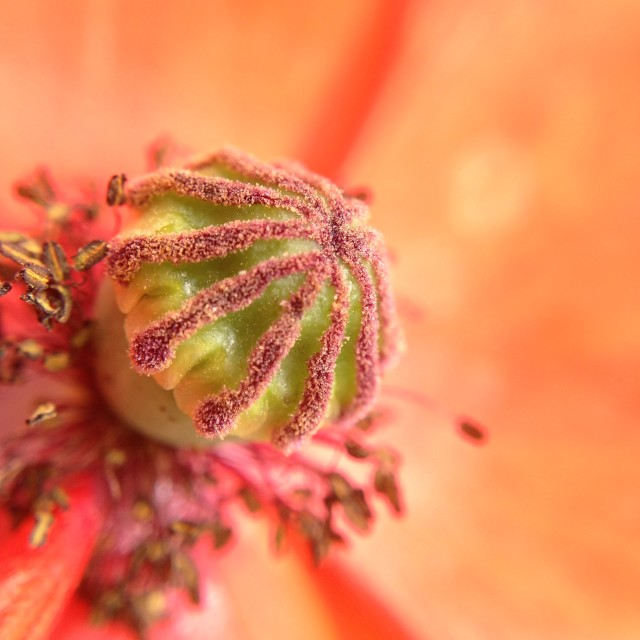 """Close up of a poppy flower"" stock image"