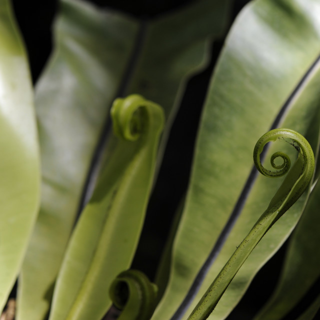 """Curls plant"" stock image"