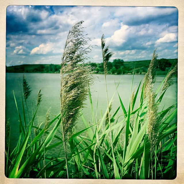 """Bulrush"" stock image"