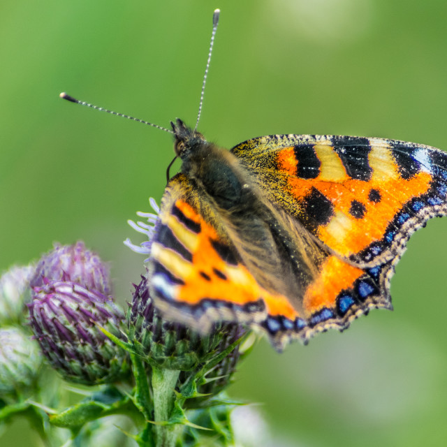 """""""butterfly2"""" stock image"""