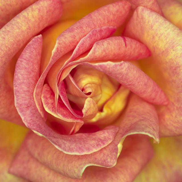 """dark pink rose flower close-up"" stock image"