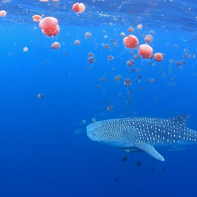 """Whale shark"" stock image"