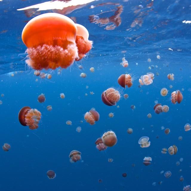 """Jelly fish"" stock image"